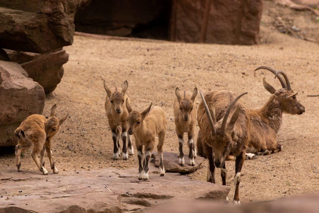 Nachwuchs bei den Nubischen Steinböcken_Zoo Magdeburg