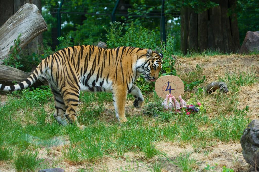 Tigerin Stormi feiert 4. Geburtstag / Zoo Magdeburg