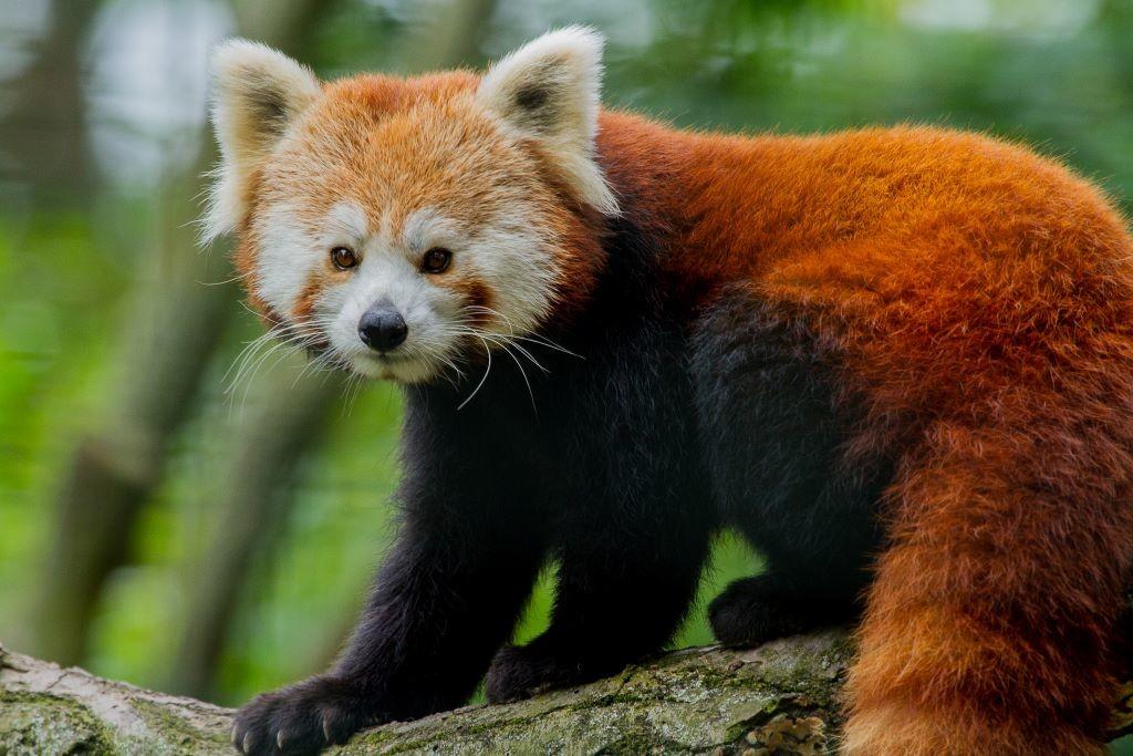 Kleiner Panda / Kai Malter