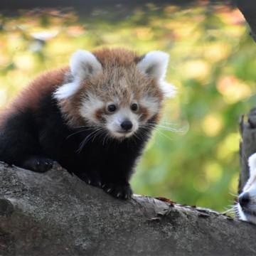 Zoo ist Partner des Roten Panda Netzwerkes