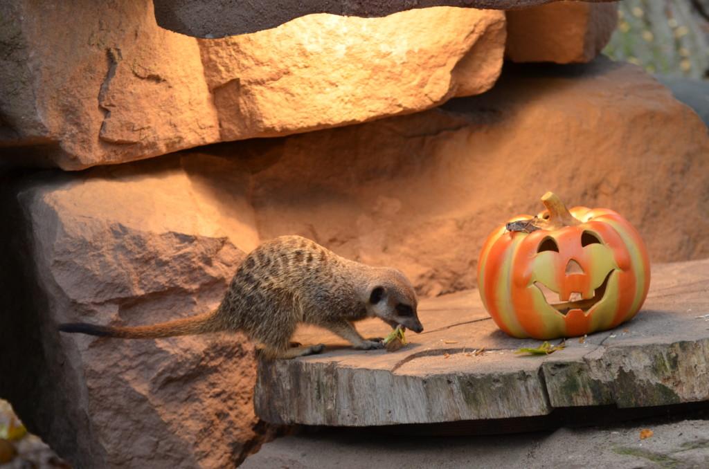 Halloween-Wochenende im Zoo_Erdmännchen / Zoo Magdeburg