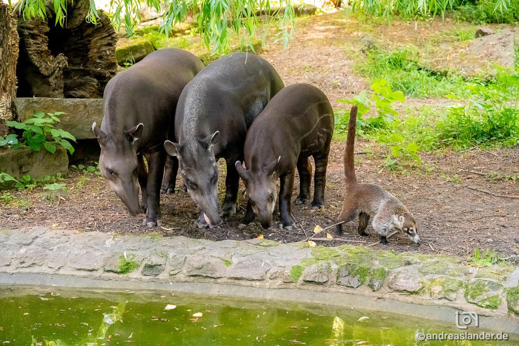 Flachlandtapire und Nasenbären warten auf die Ferienkinder © www.AndreasLander.de